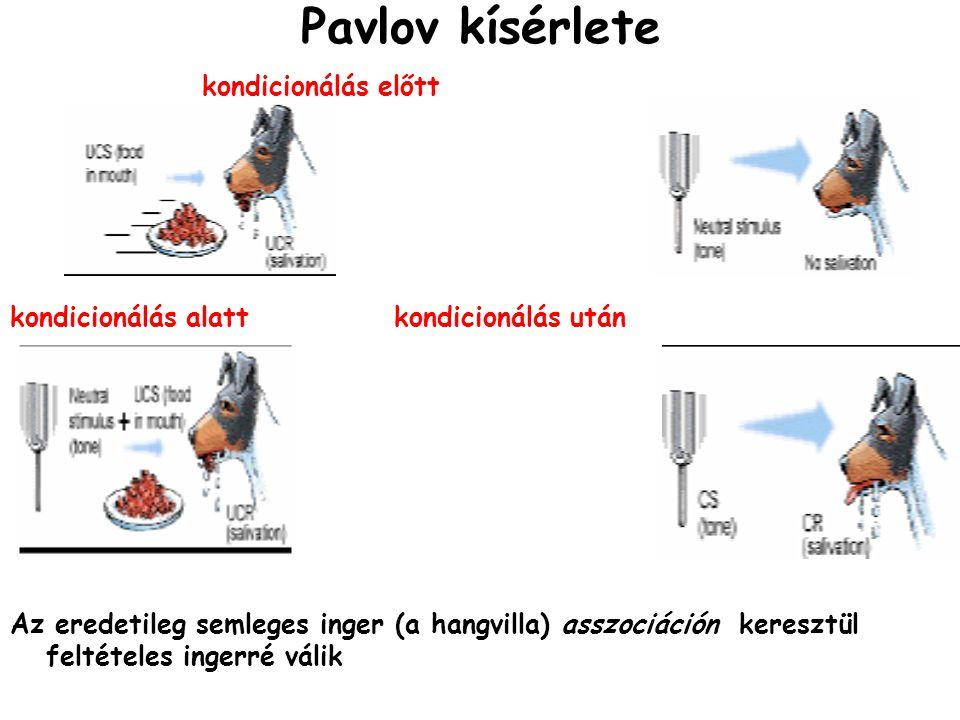 Pavlov kísérlete kondicionálás előtt kondicionálás alattkondicionálás után Az eredetileg semleges inger (a hangvilla) asszociáción keresztül feltételes ingerré válik