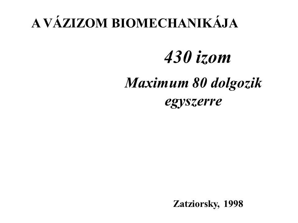 430 izom Zatziorsky, 1998 Maximum 80 dolgozik egyszerre A VÁZIZOM BIOMECHANIKÁJA