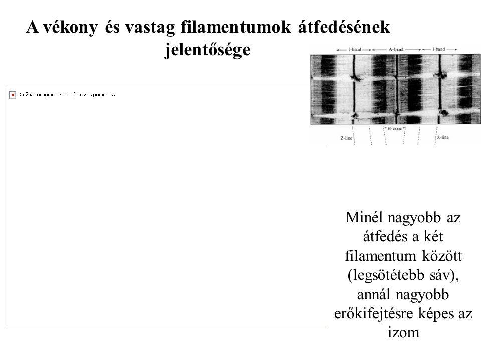 A vékony és vastag filamentumok átfedésének jelentősége Minél nagyobb az átfedés a két filamentum között (legsötétebb sáv), annál nagyobb erőkifejtésre képes az izom