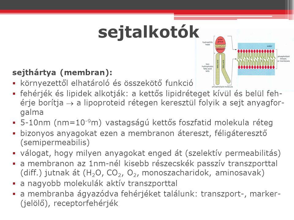 sejtalkotók sejthártya (membran):  környezettől elhatároló és összekötő funkció  fehérjék és lipidek alkotják: a kettős lipidréteget kívül és belül