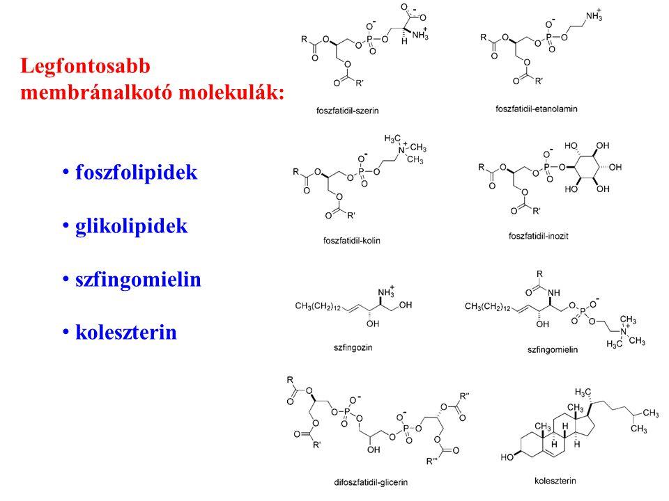  passzív diffúzió (koncentráció gradiens irányában) transzcelluláris paracelluláris  aktív transzport (koncentráció gradiens ellenében) karrier molekulák • (facilitált diffúzió endocitózis, exocitózis ionpártranszport) Az abszorpció mechanizmusa