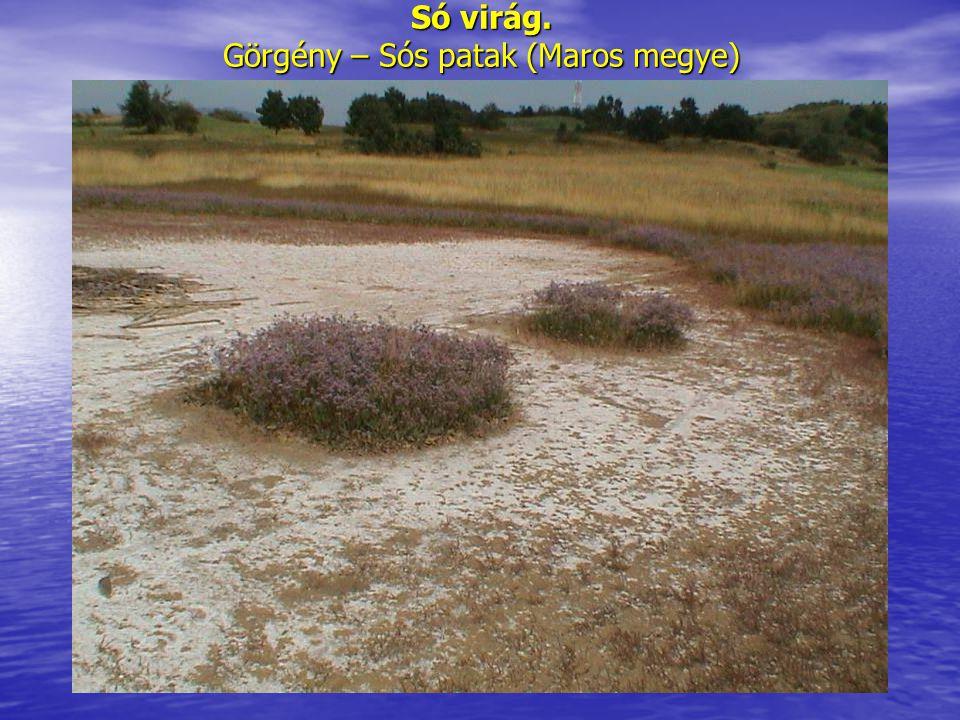 Só virág. Görgény – Sós patak (Maros megye)