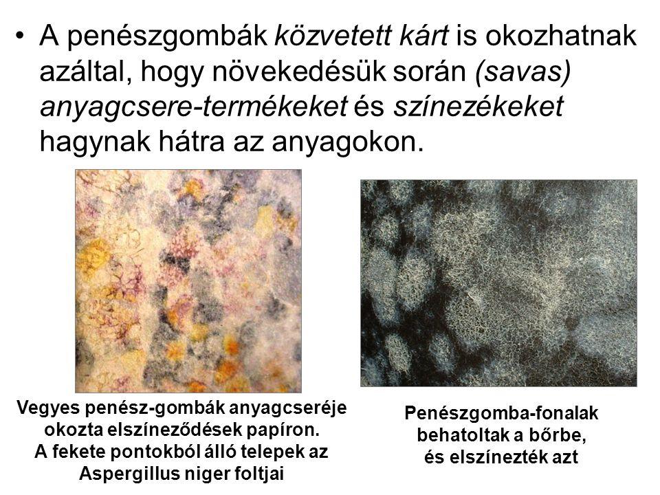 •A penészgombák közvetett kárt is okozhatnak azáltal, hogy növekedésük során (savas) anyagcsere-termékeket és színezékeket hagynak hátra az anyagokon.