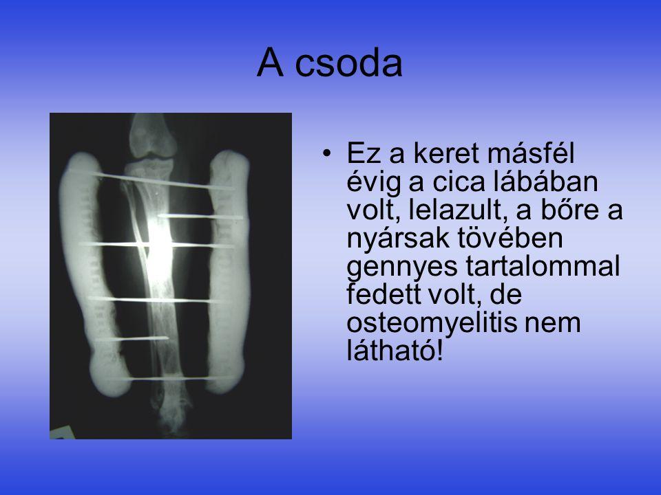 A csoda •Ez a keret másfél évig a cica lábában volt, lelazult, a bőre a nyársak tövében gennyes tartalommal fedett volt, de osteomyelitis nem látható!