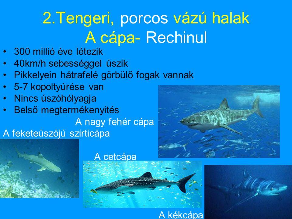 2.Tengeri, porcos vázú halak A cápa- Rechinul •300 millió éve létezik •40km/h sebességgel úszik •Pikkelyein hátrafelé görbülő fogak vannak •5-7 kopoltyúrése van •Nincs úszóhólyagja •Belső megtermékenyités A nagy fehér cápa A feketeúszójú szirticápa A cetcápa A kékcápa