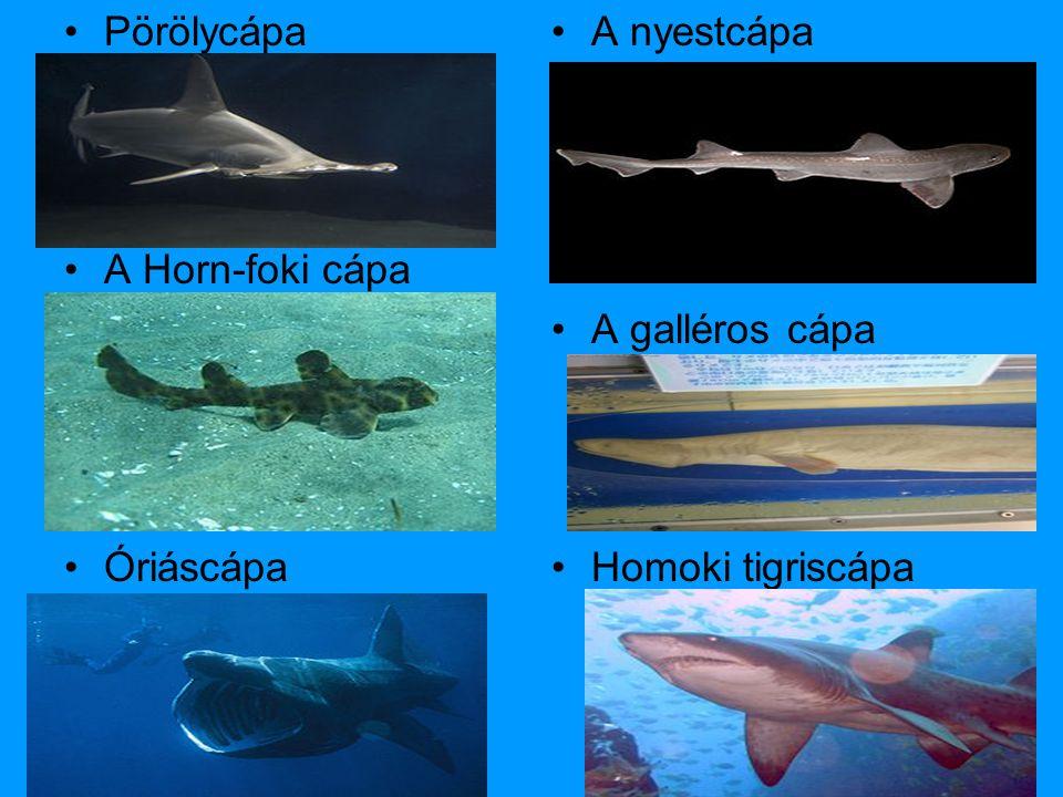 •Pörölycápa •A Horn-foki cápa •Óriáscápa •A nyestcápa •A galléros cápa •Homoki tigriscápa