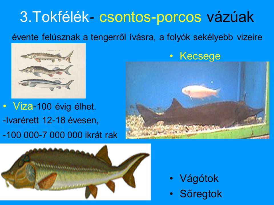 3.Tokfélék- csontos-porcos vázúak évente felúsznak a tengerről ívásra, a folyók sekélyebb vizeire •Viza- 100 évig élhet. -Ivarérett 12-18 évesen, -100