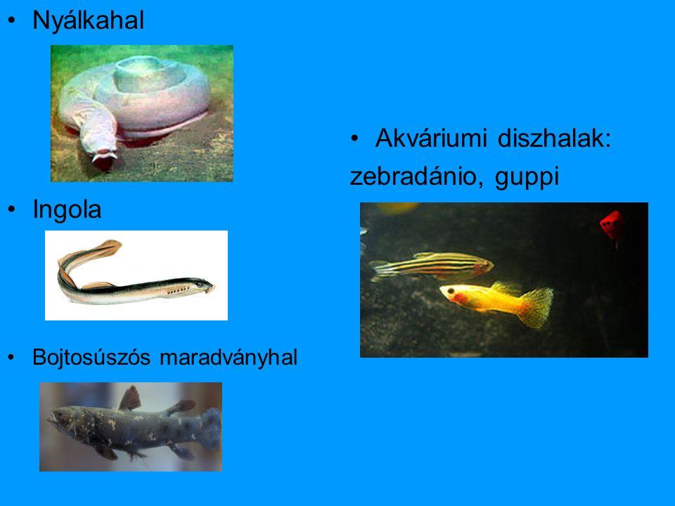 •Nyálkahal •Ingola •Bojtosúszós maradványhal •Akváriumi diszhalak: zebradánio, guppi