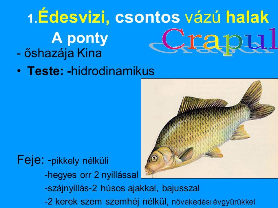 1. Édesvizi, csontos vázú halak A ponty - őshazája Kina •Teste: -hidrodinamikus Feje: - pikkely nélküli -hegyes orr 2 nyillással -szájnyillás-2 húsos