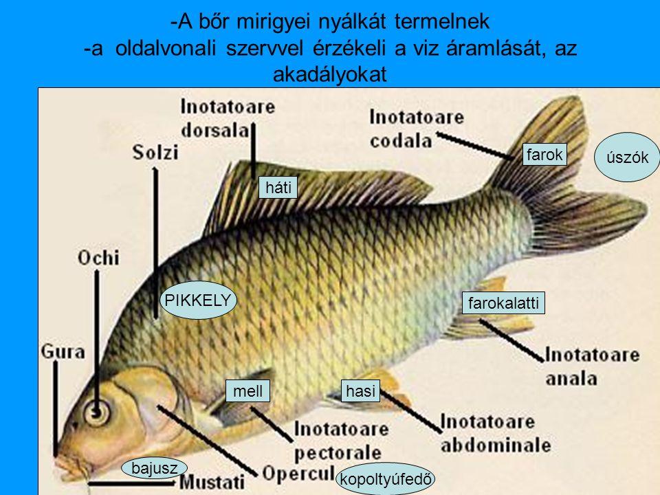 -A bőr mirigyei nyálkát termelnek -a oldalvonali szervvel érzékeli a viz áramlását, az akadályokat PIKKELY kopoltyúfedő úszók háti farok hasimell farokalatti bajusz