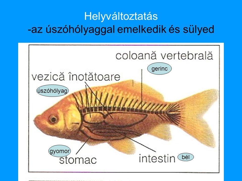 Helyváltoztatás -az úszóhólyaggal emelkedik és sülyed gerinc úszóhólyag bél gyomor