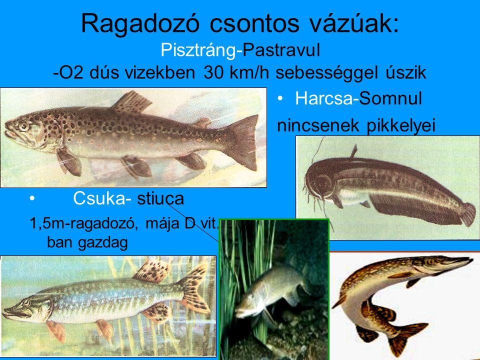 Ragadozó csontos vázúak: Pisztráng-Pastravul -O2 dús vizekben 30 km/h sebességgel úszik • Csuka- stiuca 1,5m-ragadozó, mája D vit.- ban gazdag •Harcsa-Somnul nincsenek pikkelyei