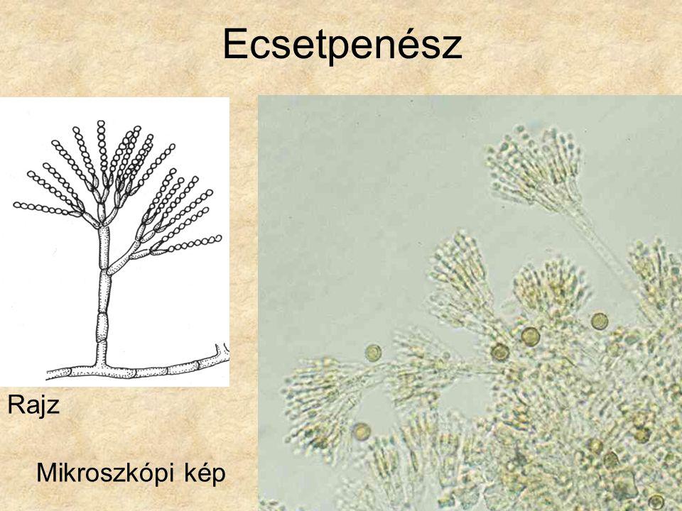 Ecsetpenész Rajz Mikroszkópi kép