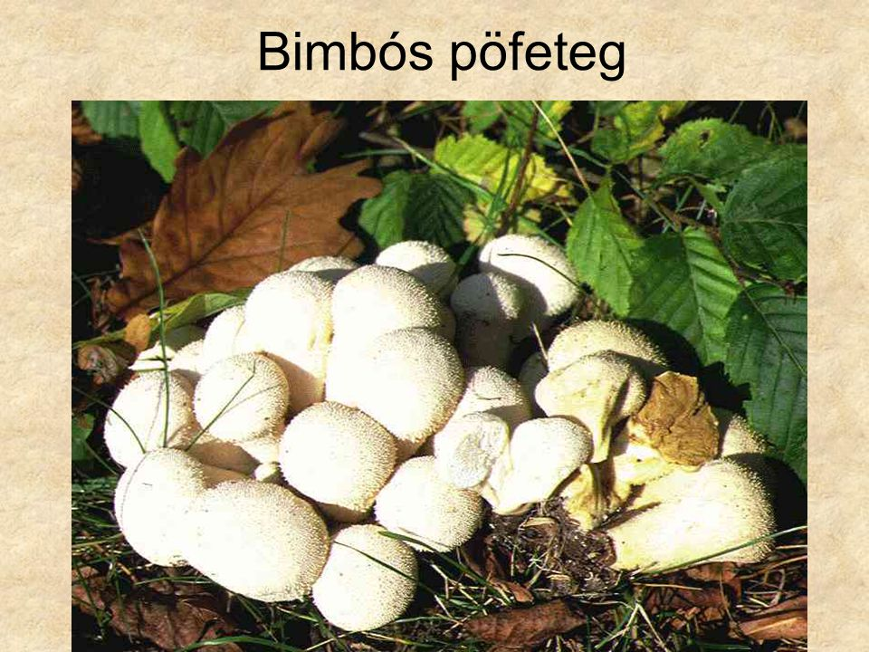 Bimbós pöfeteg