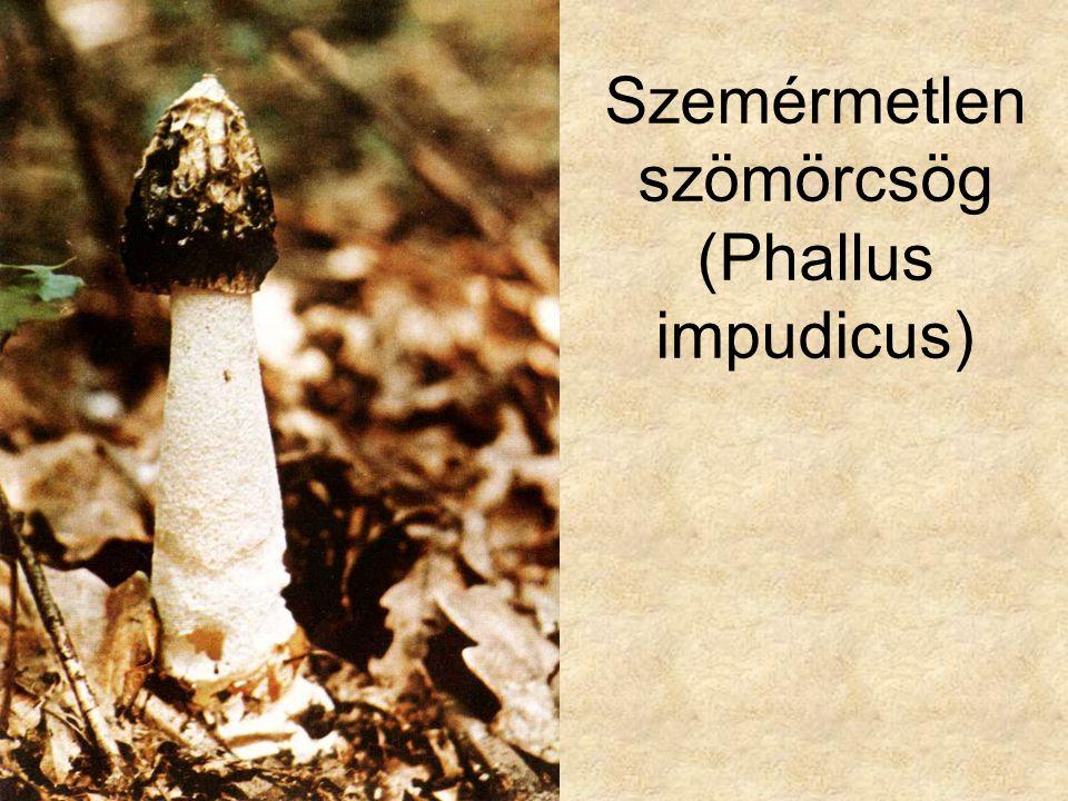 Szemérmetlen szömörcsög (Phallus impudicus)