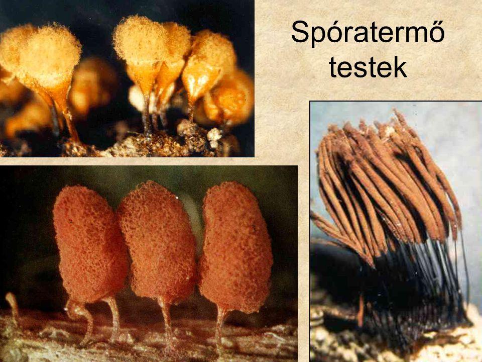 A valódi gombák törzse