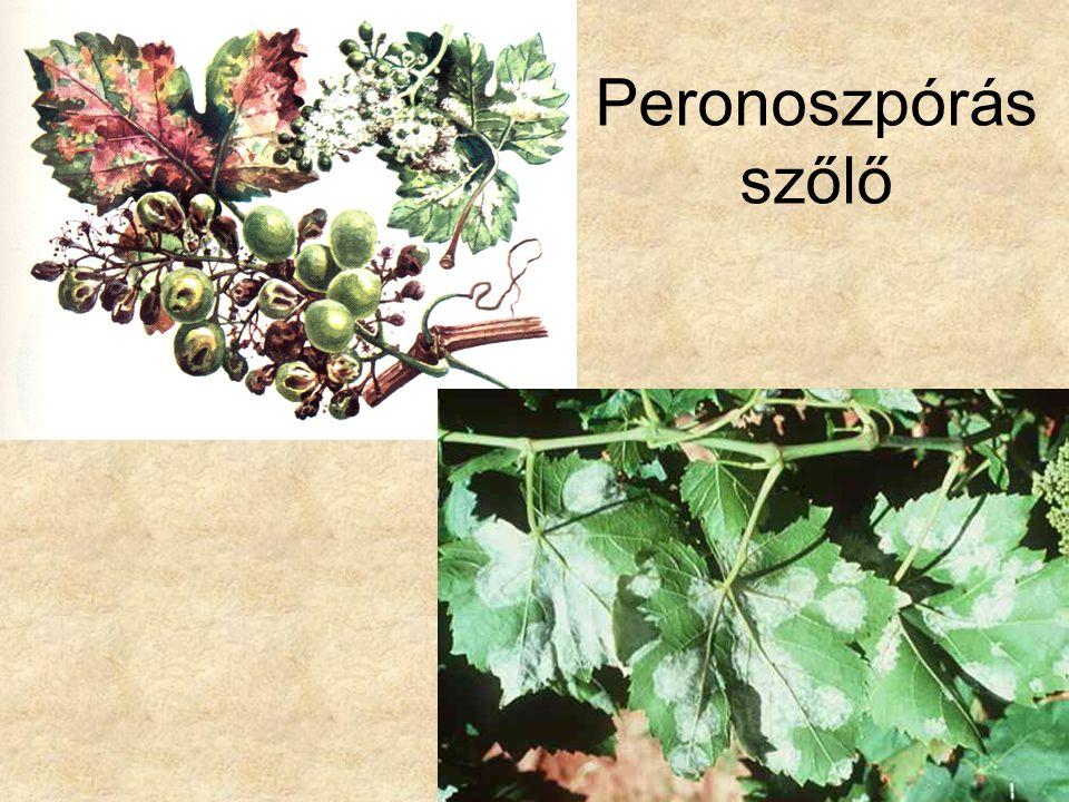 Peronoszpórás szőlő