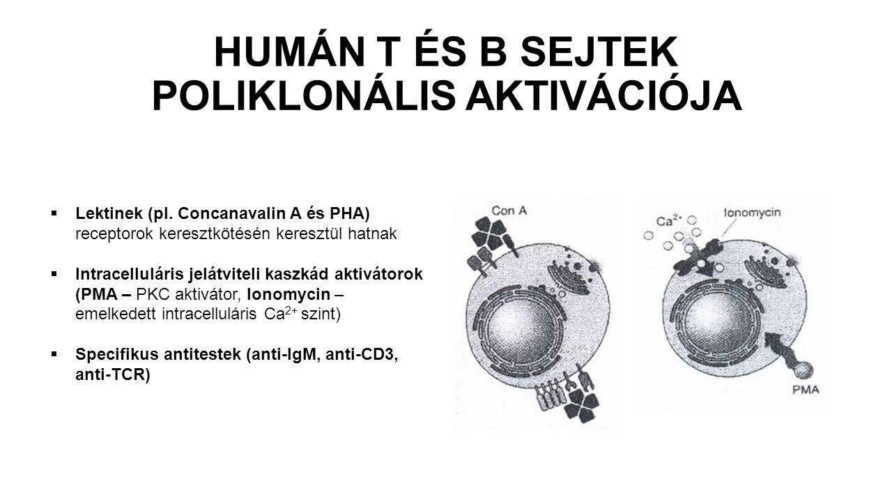 HUMÁN T ÉS B SEJTEK POLIKLONÁLIS AKTIVÁCIÓJA  Lektinek (pl. Concanavalin A és PHA) receptorok keresztkötésén keresztül hatnak  Intracelluláris jelát