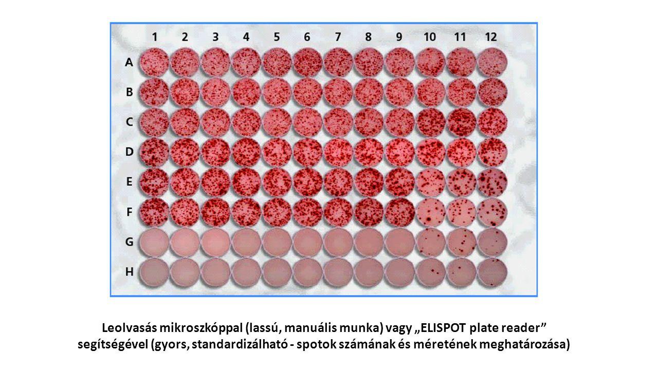 """Leolvasás mikroszkóppal (lassú, manuális munka) vagy """"ELISPOT plate reader segítségével (gyors, standardizálható - spotok számának és méretének meghatározása)"""