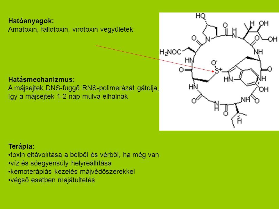 Hatóanyagok: Amatoxin, fallotoxin, virotoxin vegyületek Hatásmechanizmus: A májsejtek DNS-függő RNS-polimerázát gátolja, így a májsejtek 1-2 nap múlva