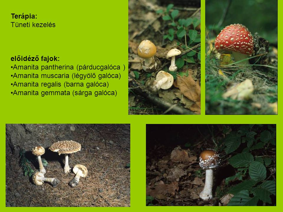 Terápia: Tüneti kezelés előidéző fajok: •Amanita pantherina (párducgalóca ) •Amanita muscaria (légyölő galóca) •Amanita regalis (barna galóca) •Amanit