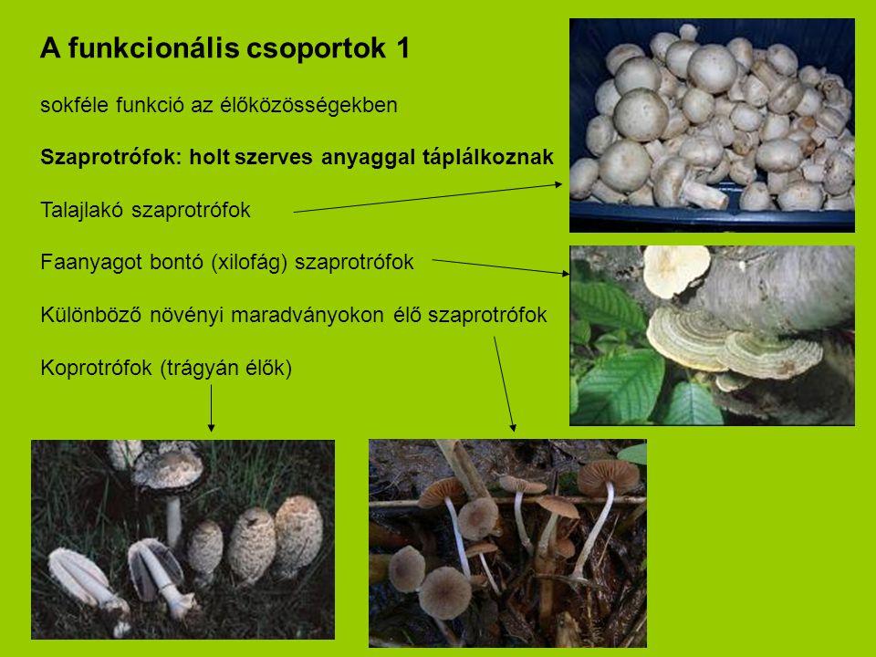 A funkcionális csoportok 1 sokféle funkció az élőközösségekben Szaprotrófok: holt szerves anyaggal táplálkoznak Talajlakó szaprotrófok Faanyagot bontó