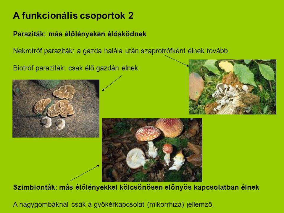 A funkcionális csoportok 2 Paraziták: más élőlényeken élősködnek Nekrotróf paraziták: a gazda halála után szaprotrófként élnek tovább Biotróf parazitá