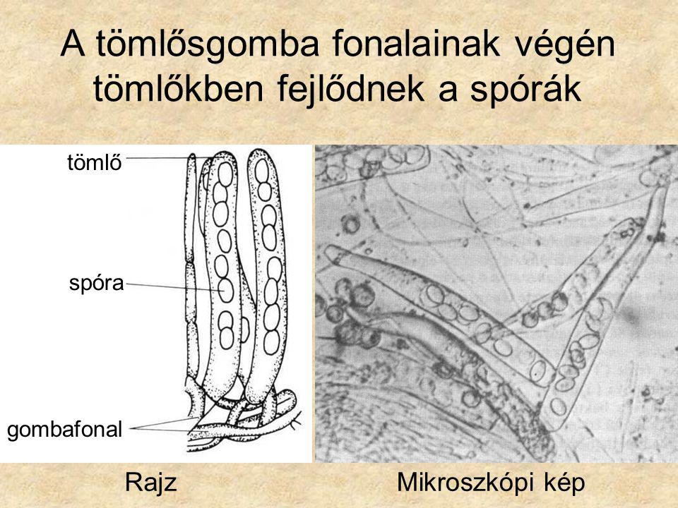 A tömlősgomba fonalainak végén tömlőkben fejlődnek a spórák RajzMikroszkópi kép tömlő spóra gombafonal