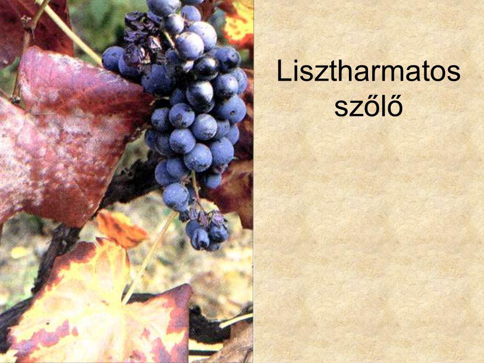 Lisztharmatos szőlő