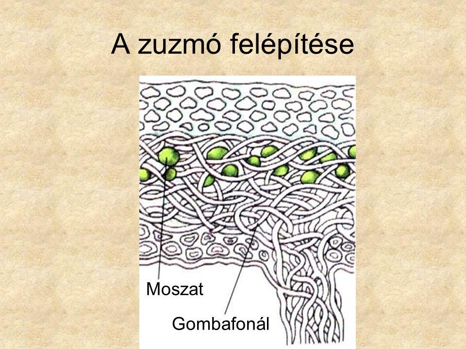 A zuzmó felépítése Moszat Gombafonál