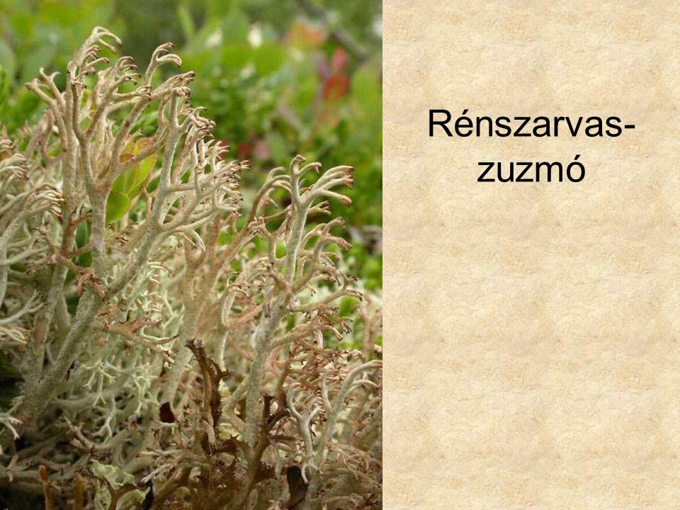 Rénszarvas- zuzmó