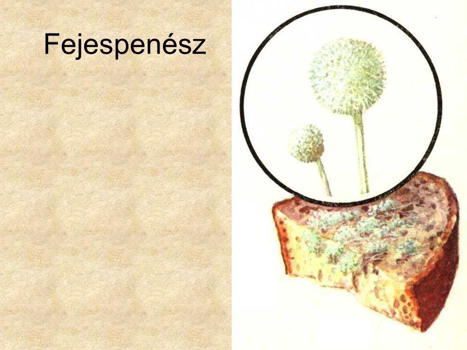 A bazídiumos gombák osztálya