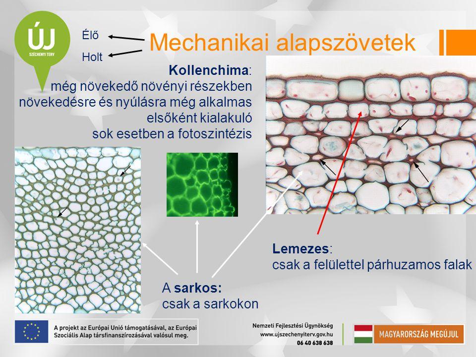 Mechanikai alapszövetek Lemezes: csak a felülettel párhuzamos falak Élő Holt Kollenchima: még növekedő növényi részekben növekedésre és nyúlásra még a