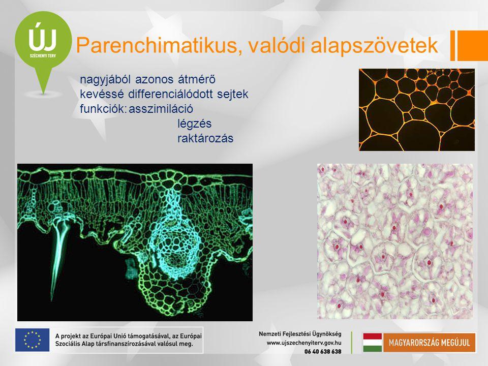 nagyjából azonos átmérő kevéssé differenciálódott sejtek funkciók:asszimiláció légzés raktározás Parenchimatikus, valódi alapszövetek