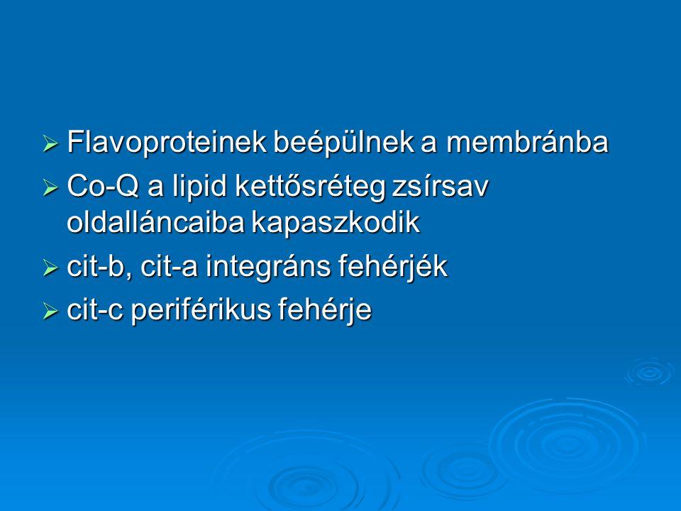  Flavoproteinek beépülnek a membránba  Co-Q a lipid kettősréteg zsírsav oldalláncaiba kapaszkodik  cit-b, cit-a integráns fehérjék  cit-c periférikus fehérje