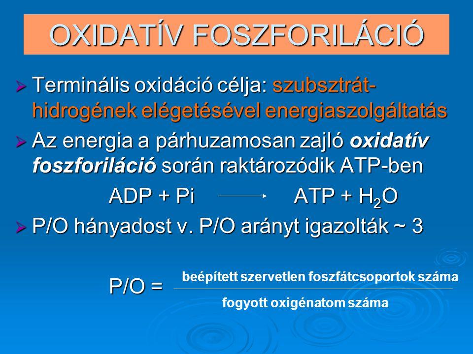 OXIDATÍV FOSZFORILÁCIÓ  Terminális oxidáció célja: szubsztrát- hidrogének elégetésével energiaszolgáltatás  Az energia a párhuzamosan zajló oxidatív foszforiláció során raktározódik ATP-ben ADP + Pi ATP + H 2 O  P/O hányadost v.