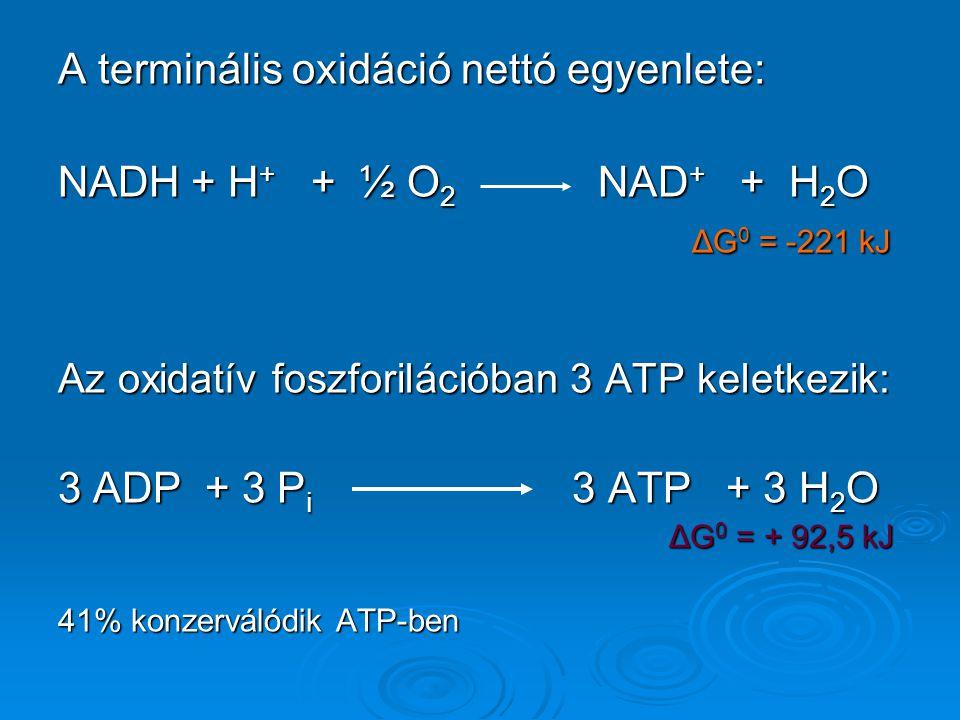 A terminális oxidáció nettó egyenlete: NADH + H + + ½ O 2 NAD + + H 2 O ΔG 0 = -221 kJ ΔG 0 = -221 kJ Az oxidatív foszforilációban 3 ATP keletkezik: 3 ADP + 3 P i 3 ATP + 3 H 2 O ΔG 0 = + 92,5 kJ ΔG 0 = + 92,5 kJ 41% konzerválódik ATP-ben