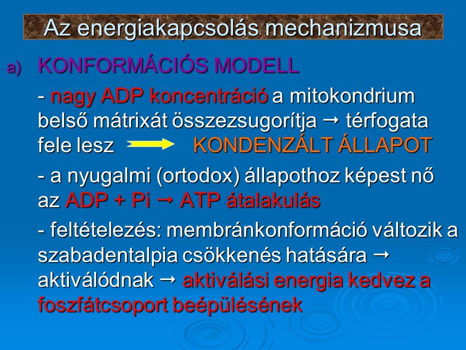 Az energiakapcsolás mechanizmusa a) KONFORMÁCIÓS MODELL - nagy ADP koncentráció a mitokondrium belső mátrixát összezsugorítja  térfogata fele leszKONDENZÁLT ÁLLAPOT - a nyugalmi (ortodox) állapothoz képest nő az ADP + Pi  ATP átalakulás - feltételezés: membránkonformáció változik a szabadentalpia csökkenés hatására  aktiválódnak  aktiválási energia kedvez a foszfátcsoport beépülésének