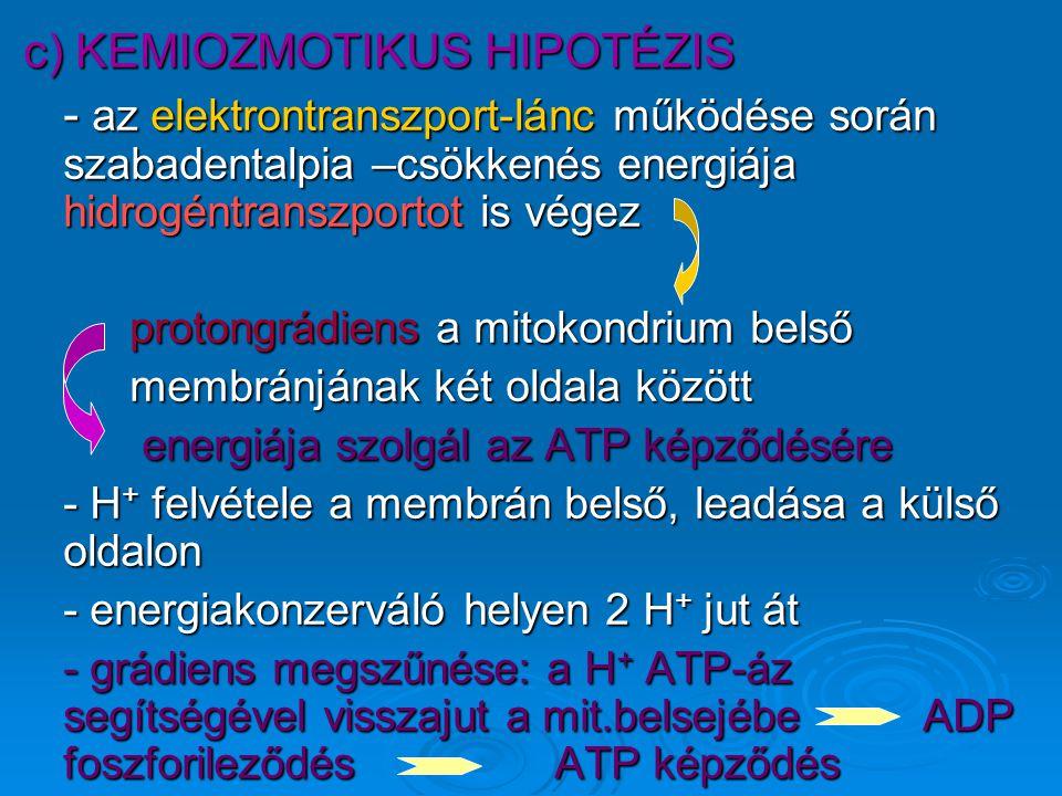 c) KEMIOZMOTIKUS HIPOTÉZIS - az elektrontranszport-lánc működése során szabadentalpia –csökkenés energiája hidrogéntranszportot is végez protongrádiens a mitokondrium belső membránjának két oldala között energiája szolgál az ATP képződésére energiája szolgál az ATP képződésére - H + felvétele a membrán belső, leadása a külső oldalon - energiakonzerváló helyen 2 H + jut át - grádiens megszűnése: a H + ATP-áz segítségével visszajut a mit.belsejébe ADP foszforileződésATP képződés