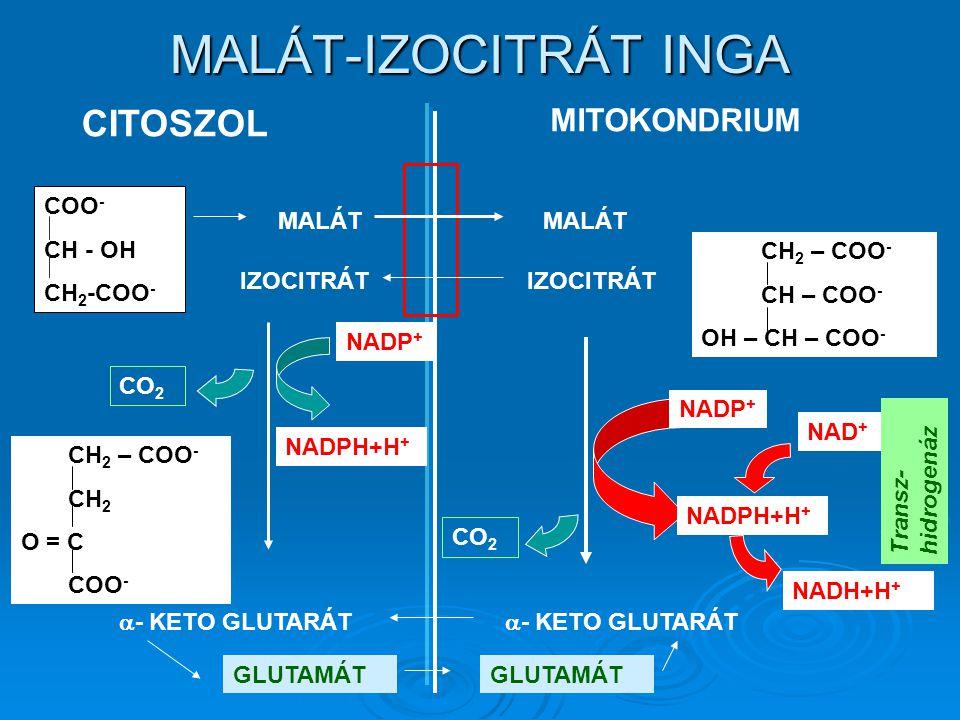 MALÁT-IZOCITRÁT INGA CITOSZOL MITOKONDRIUM COO - CH - OH CH 2 -COO - MALÁT IZOCITRÁT CH 2 – COO - CH – COO - OH – CH – COO -  - KETO GLUTARÁT CH 2 – COO - CH 2 O = C COO - CO 2 NADP + NADPH+H + GLUTAMÁT CO 2 NADP + NADPH+H + NAD + NADH+H + Transz- hidrogenáz