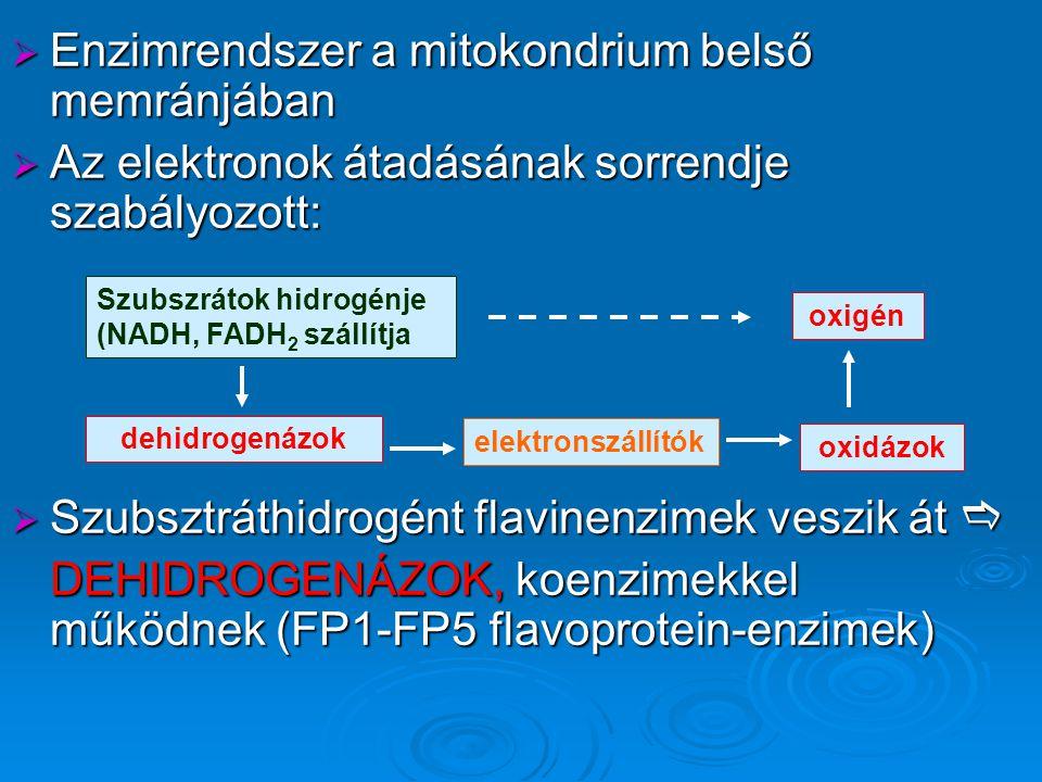  Enzimrendszer a mitokondrium belső memránjában  Az elektronok átadásának sorrendje szabályozott:  Szubsztráthidrogént flavinenzimek veszik át  DEHIDROGENÁZOK, koenzimekkel működnek (FP1-FP5 flavoprotein-enzimek) Szubszrátok hidrogénje (NADH, FADH 2 szállítja oxigén oxidázok elektronszállítók dehidrogenázok