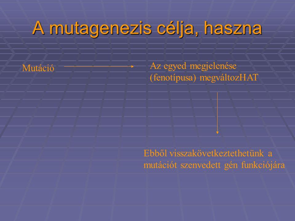 A mutagenezis célja, haszna Mutáció Az egyed megjelenése (fenotípusa) megváltozHAT Ebből visszakövetkeztethetünk a mutációt szenvedett gén funkciójára