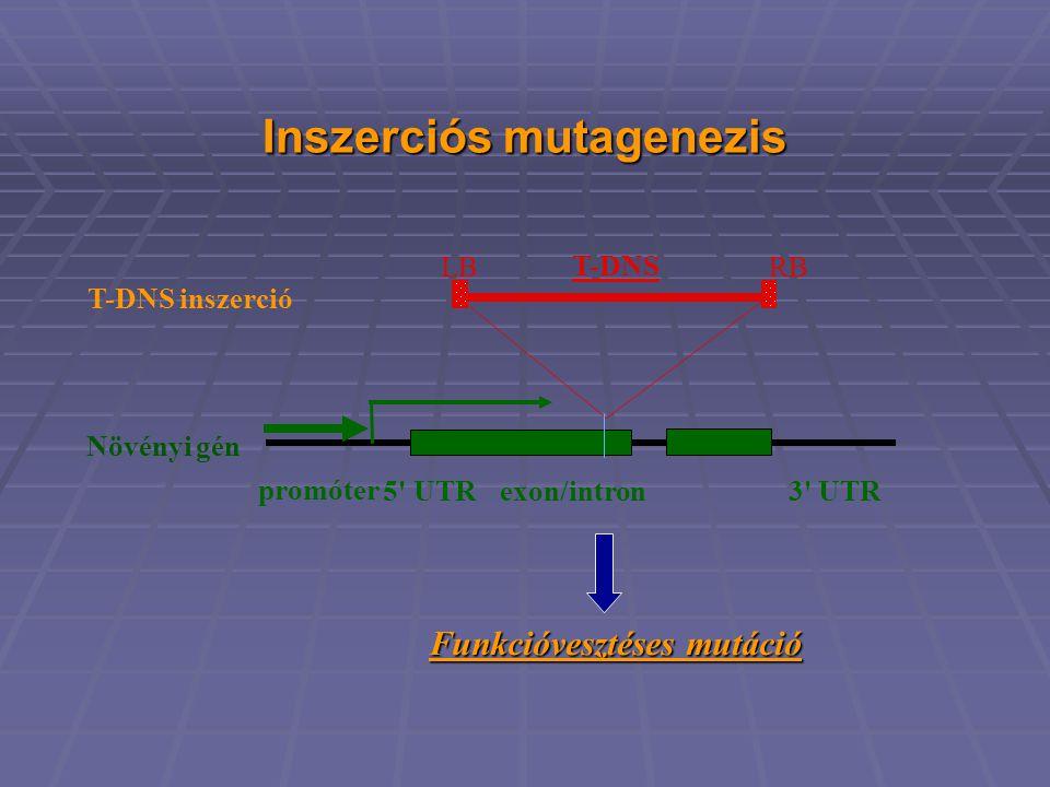 Inszerciós mutagenezis Növényi gén exon/intron promóter 5 UTR3 UTR T-DNS LBRB T-DNS inszerció Funkcióvesztéses mutáció Funkcióvesztéses mutáció