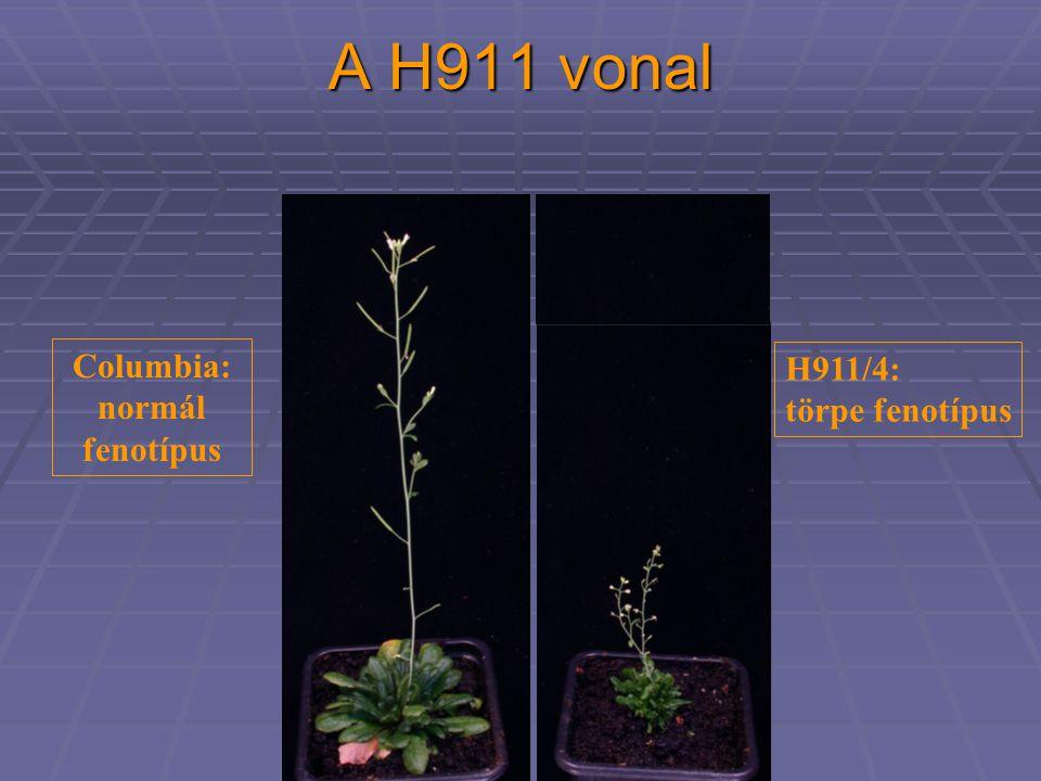 A H911 vonal Columbia: normál fenotípus H911/4: törpe fenotípus