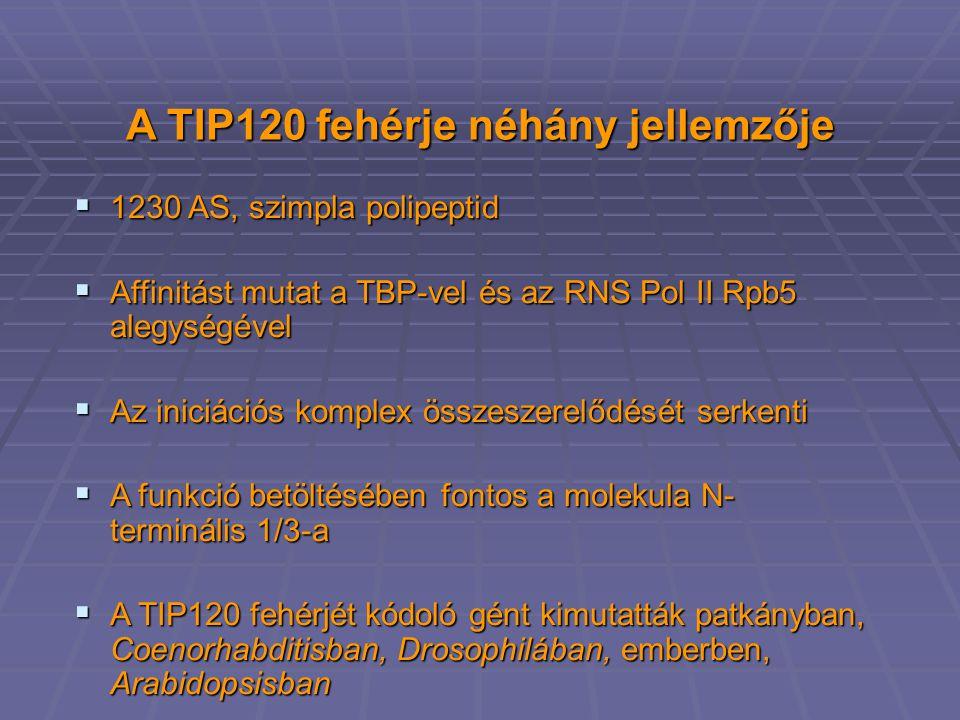 A TIP120 fehérje néhány jellemzője  1230 AS, szimpla polipeptid  Affinitást mutat a TBP-vel és az RNS Pol II Rpb5 alegységével  Az iniciációs komplex összeszerelődését serkenti  A funkció betöltésében fontos a molekula N- terminális 1/3-a  A TIP120 fehérjét kódoló gént kimutatták patkányban, Coenorhabditisban, Drosophilában, emberben, Arabidopsisban