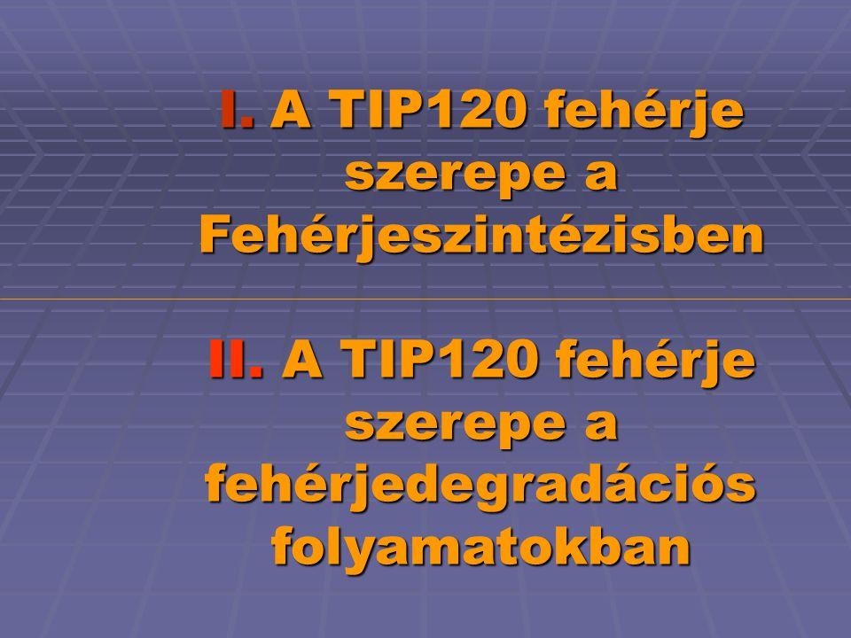 I. A TIP120 fehérje szerepe a Fehérjeszintézisben II.
