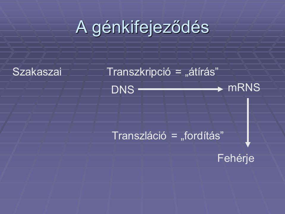 """A génkifejeződés SzakaszaiTranszkripció = """"átírás Transzláció = """"fordítás DNS Fehérje mRNS"""