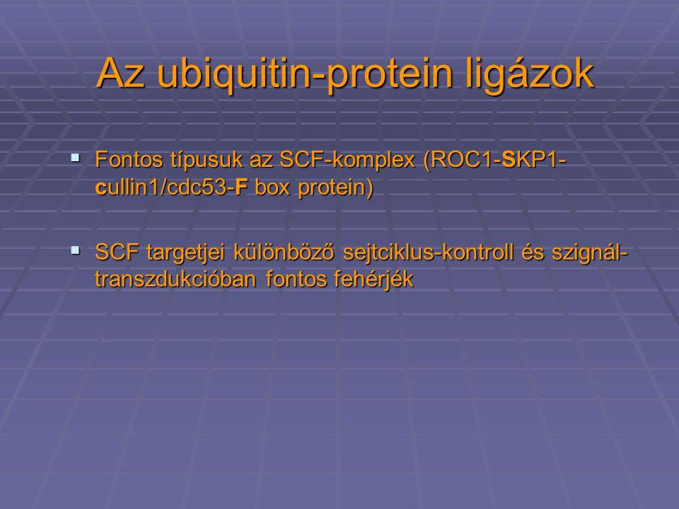 Az ubiquitin-protein ligázok  Fontos típusuk az SCF-komplex (ROC1-SKP1- cullin1/cdc53-F box protein)  SCF targetjei különböző sejtciklus-kontroll és szignál- transzdukcióban fontos fehérjék