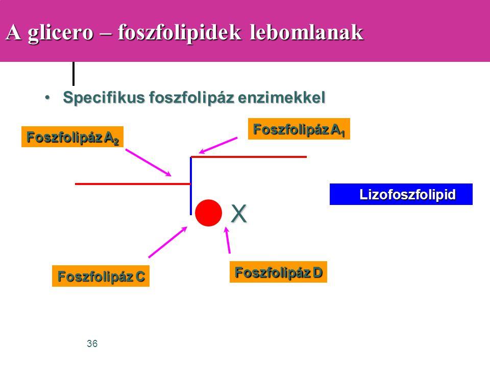 36 A glicero – foszfolipidek lebomlanak •Specifikus foszfolipáz enzimekkel X Foszfolipáz A 1 Foszfolipáz A 2 Foszfolipáz C Foszfolipáz D Lizofoszfolip