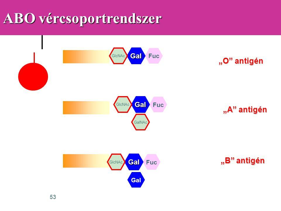 """53 ABO vércsoportrendszer Gal GlcNAc Fuc Gal GalNAc """"O"""" antigén """"A"""" antigén """"B"""" antigén Gal GlcNAc Fuc Gal GlcNAc Fuc"""